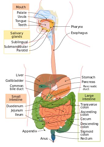 Poop Synonyms - Diagram of Alimentary Tract