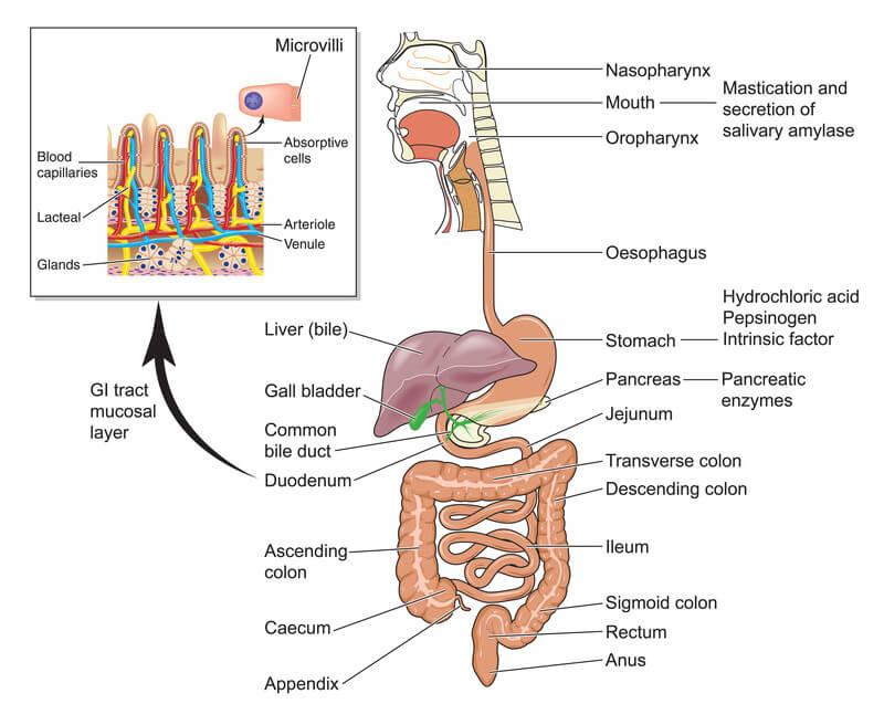 Crohn's Disease Symptoms - Diagram of human gut