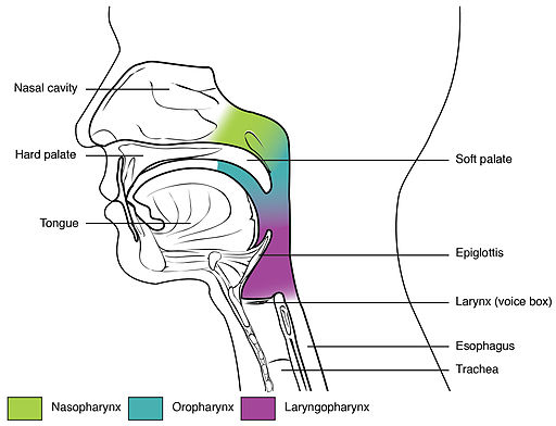 Diagram of the pharynx.