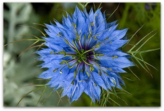 Diarrhea Remedy - Blue Nigella Sativa Flower