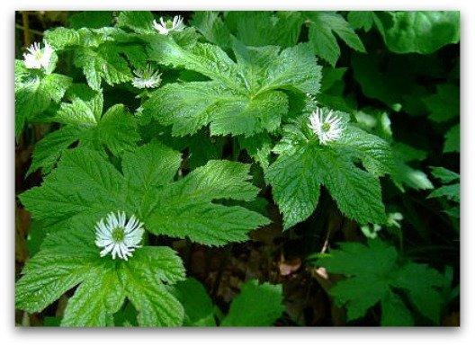 Diarrhea Remedy - Goldenseal Plant