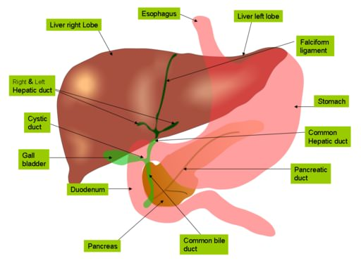 Diagram of gallbladder, liver, stomach and pancreas.