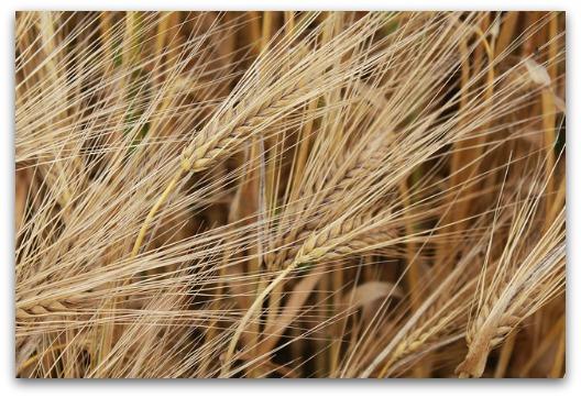 Gluten Intolerance Symptoms - Wheat Just Before Harvest