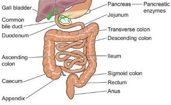What is Irritable Bowel Syndrome - Diagram of Colon