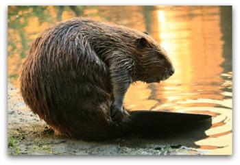 Yellow Diarrhea - Beaver Fever