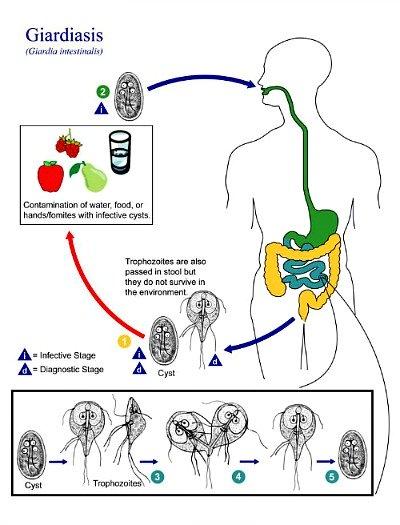 Yellow Diarrhea - Life Cycle Of Giardia Lamblia